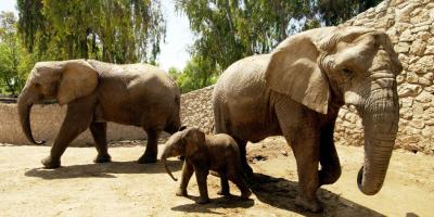 Offspring everywhere - even at the Safari Park in Ramat Gan (Credit: Amos Ben Gershom, GPO)